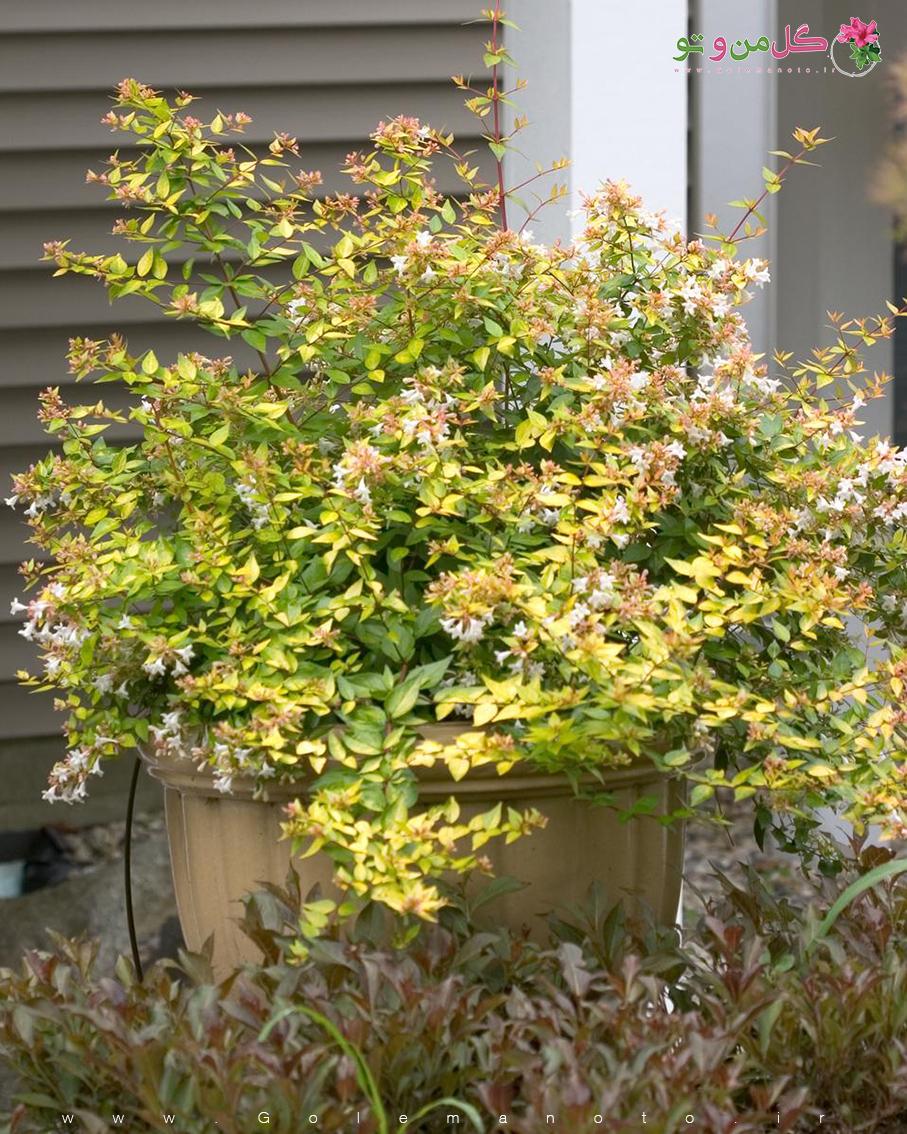 معرفی درخت آبلیا - گل من و تو