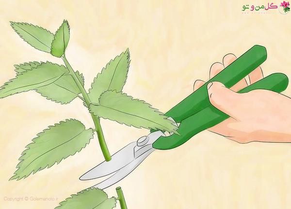 هرس گیاه برای از بین بردن شته گیاهان آپارتمانی