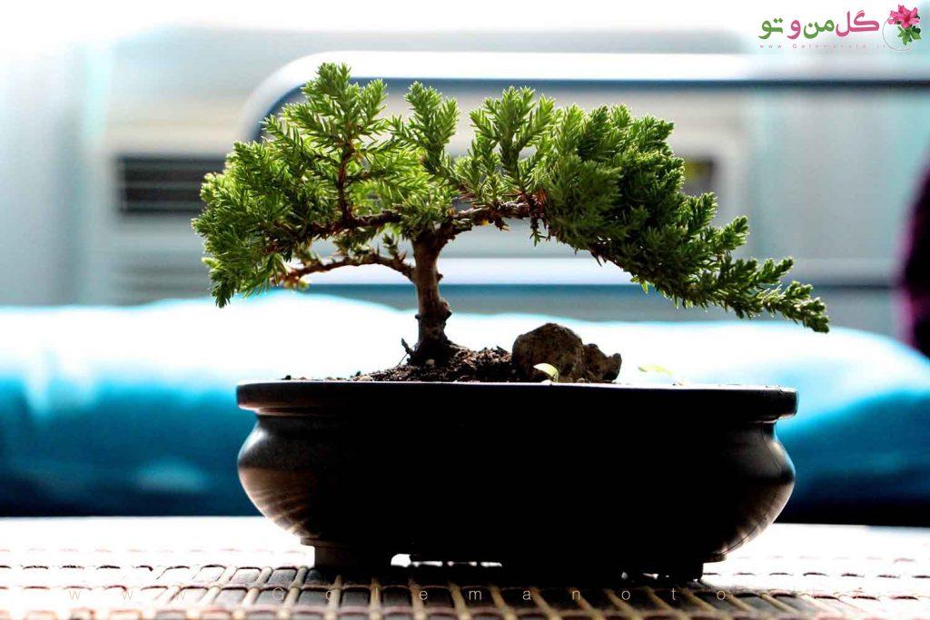 درختچه بونسای