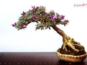 bonsai tree small leaves بونسای چیست و چگونه باید بن سای پروش دهیم