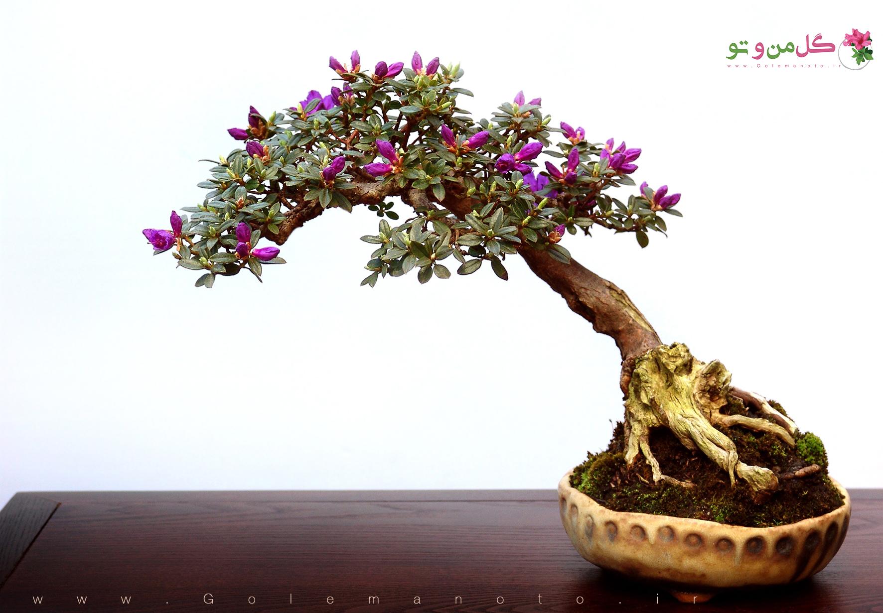 bonsai tree small leaves نکات مهم هنگام خرید بنسای(بونسای)