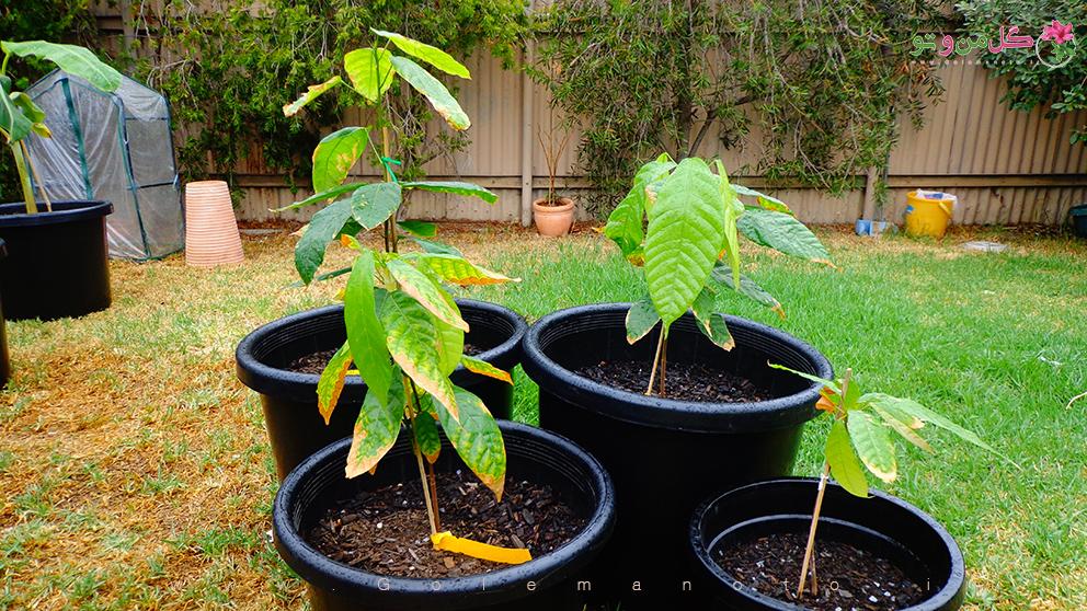 درخت کاکائو - گل من و تو
