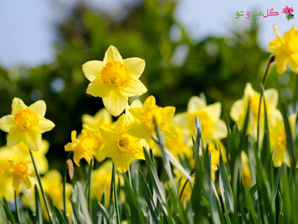 نرگس زرد - گل من و تو