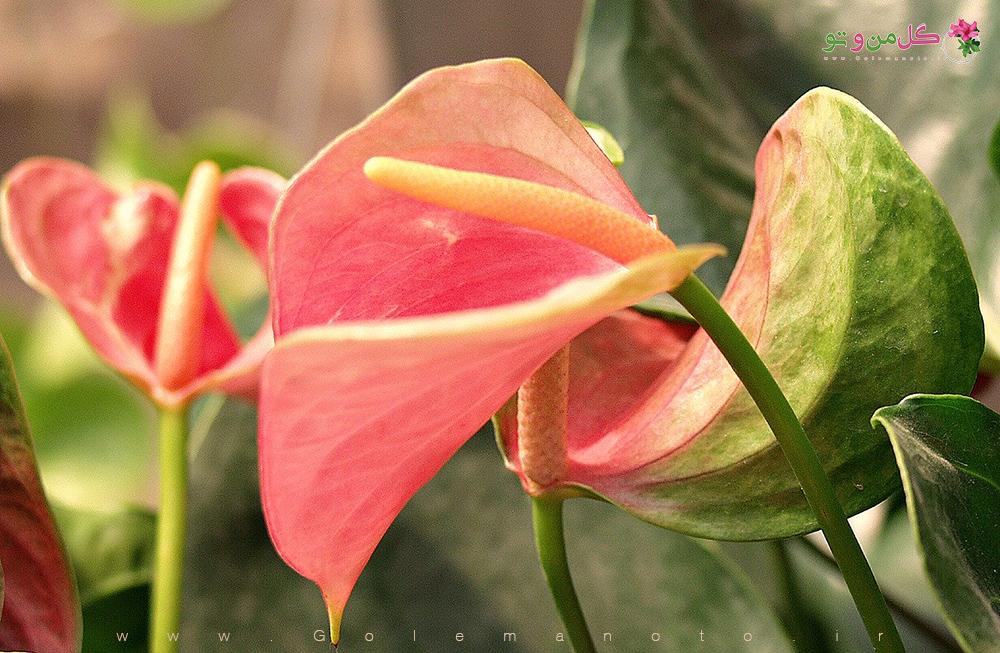 آنتوریوم-تکثیر-گل-من-و-تو