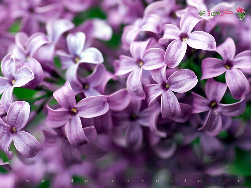 خواص گل یاس - گل من و تو