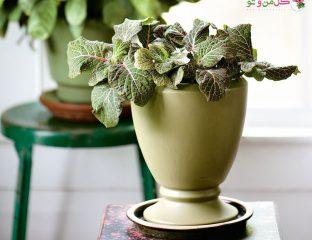 معرفس و نگهداری گیاه فیتونیا