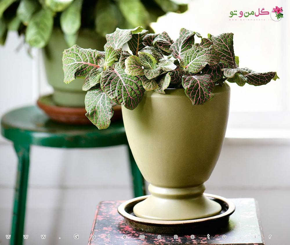 معرفی و نگهداری گیاه فیتونیا