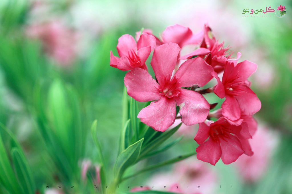 خرزهره یا گیش - گل من و تو