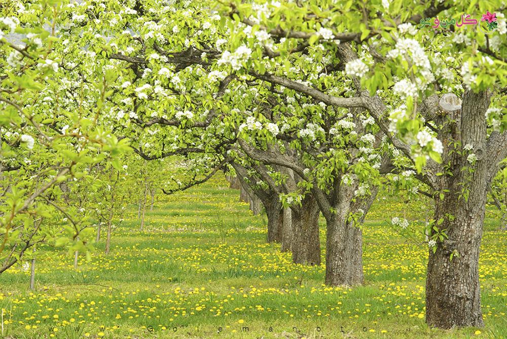 معرفی درخت گلابی - گل من و تو
