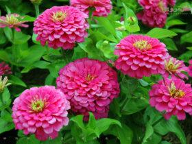 معرفی و نگهداری گل آهار-گل من و تو