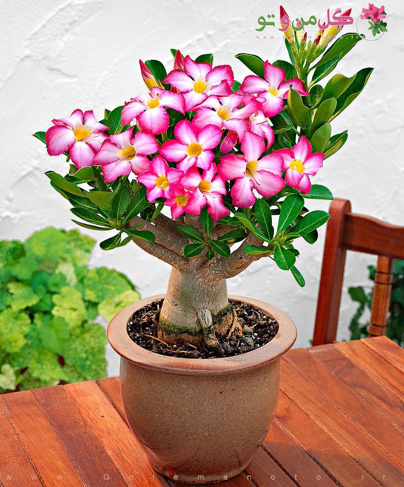 معرفی گل آدنیوم-گل من و تو