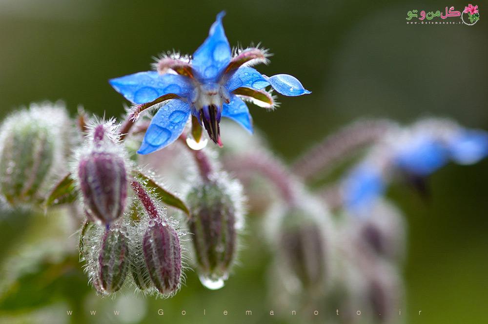 خواص درمانی گل گاو زبان-گل من و تو