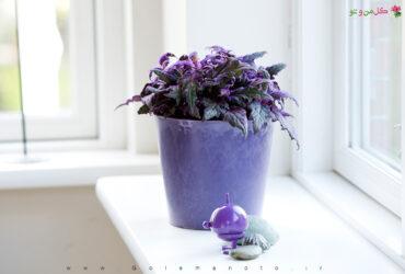 معرفی و آموزش نگهداری گیاه گینورا یا جینورا یا ژینورا - شب تاب