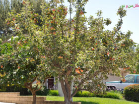 25736b معرفی و نگهداری درخت سیب