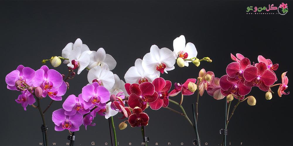 معرفی و آموزش نگهداری ارکیده- گل من و تو