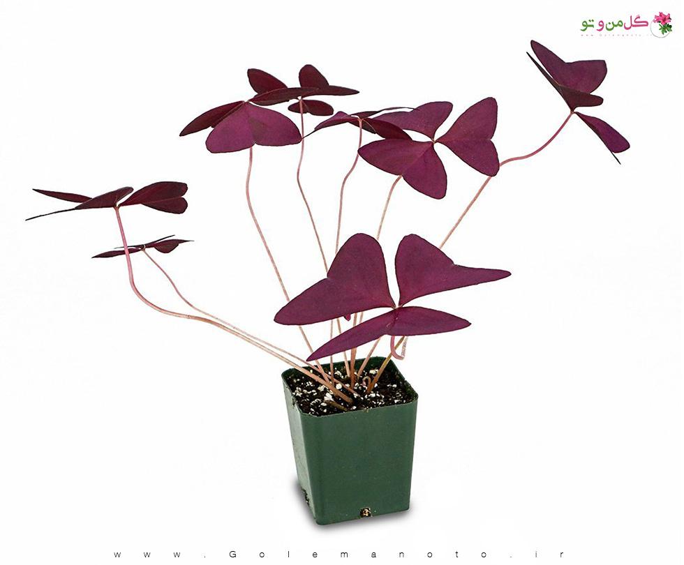 معرفی گیاه عش یا شبدر زینتی-گل من و تو