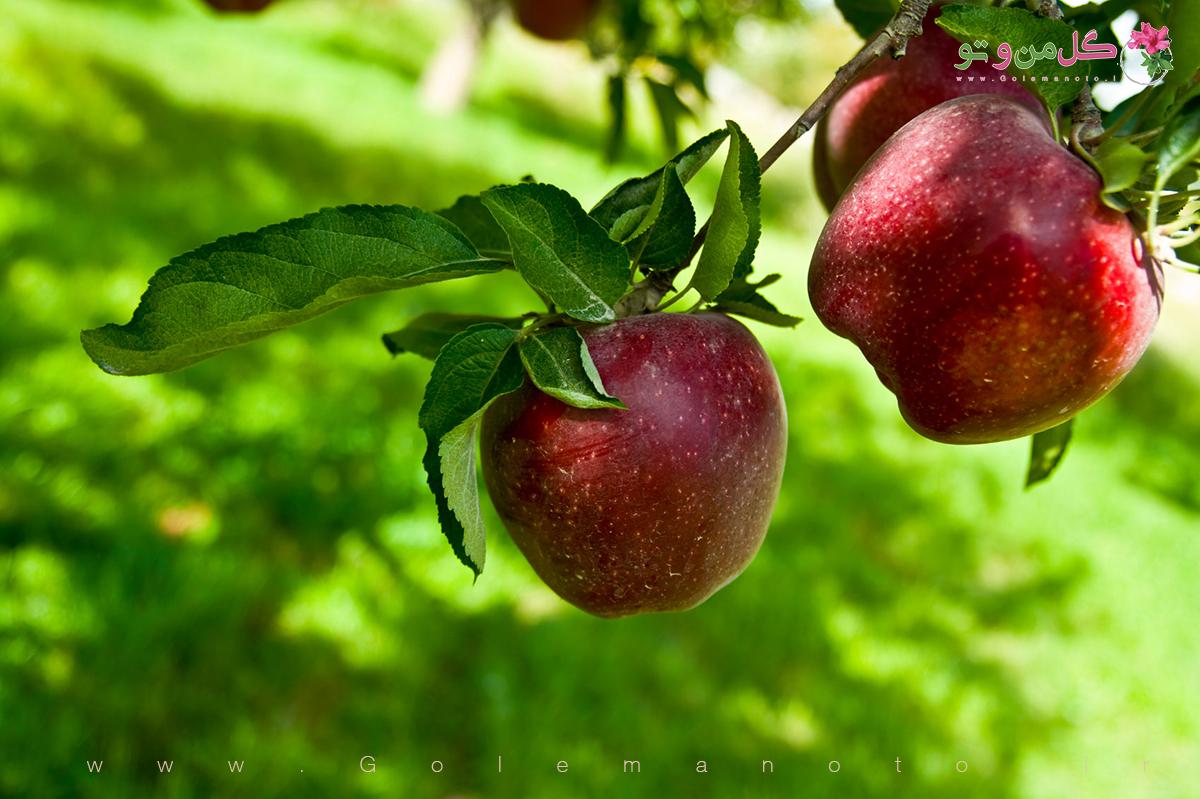 معرفی درخت سیب- گل من و تو