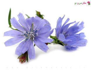 خواص درمانی کاسنی-گل من و تو