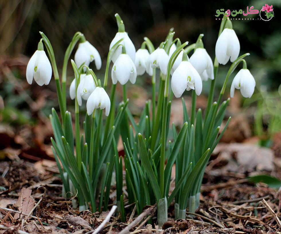 نگهداری و معرفی گیاه زنگوله زمستانی- گل من و تو