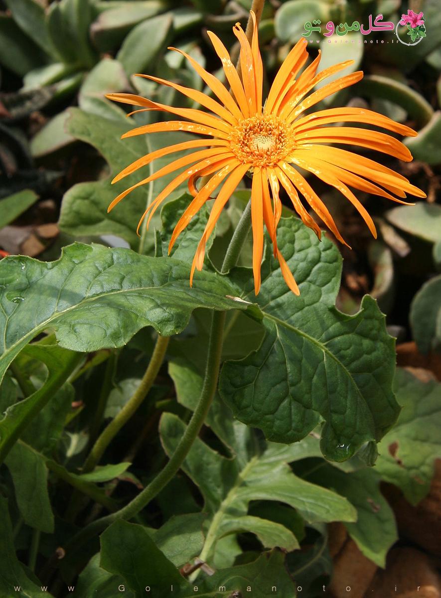 معرفی گل ژربرا-گل من و تو