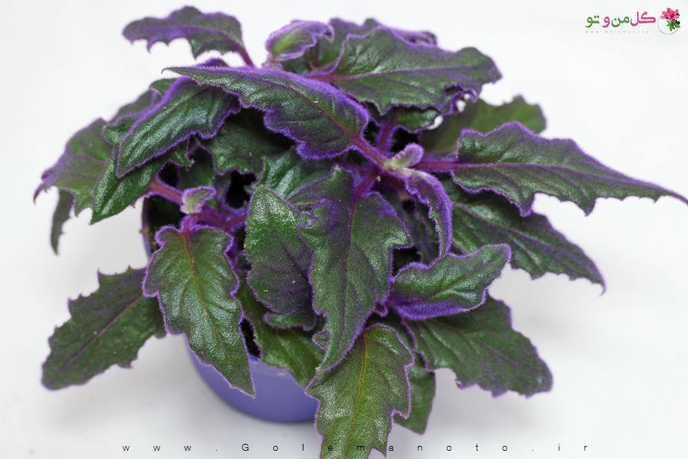 معرفی گیاه شب تاب یا گینورا
