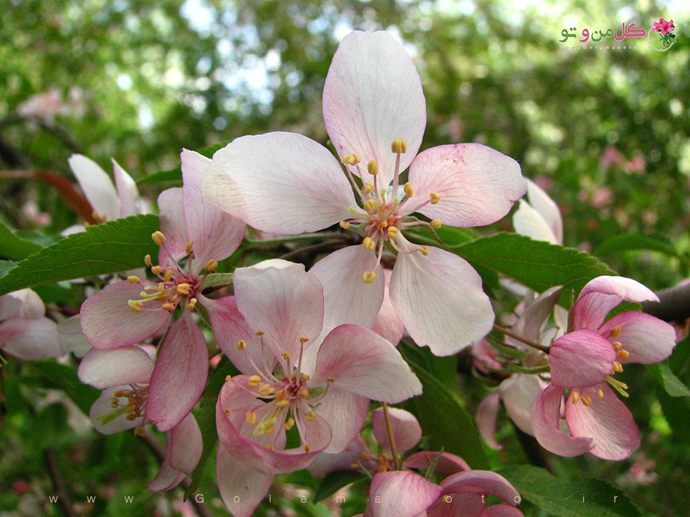 معرفی درخت سیب-شکوفه درخت سیب