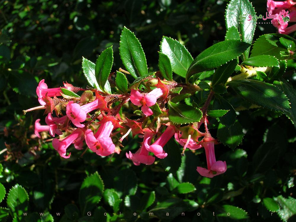 معرفی اسکالونیا-گل من و تو