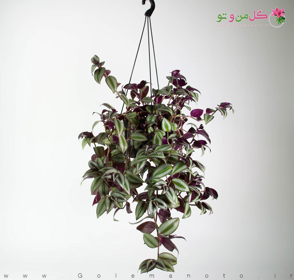 معرفی و نگهداری گیاه زبرینا-گل من و تو