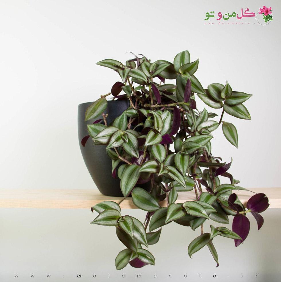 معرفی و نگهداری زبرینا-گل من و تو