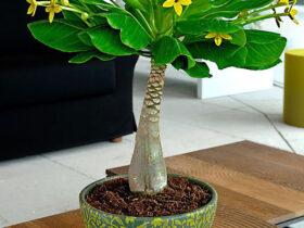 معرفی و پرورش گیاه آدنیوم-گل من و تو