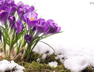 جلوگیری از سرمازدگی گیاه-گل من و تو