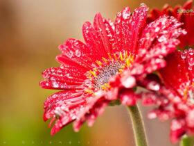 معرفی و نگهداری ژربرا-گل من و تو