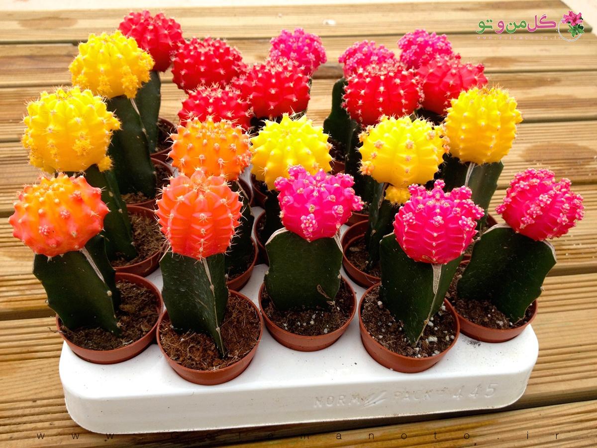 کاکتوس رنگی-گل من و تو