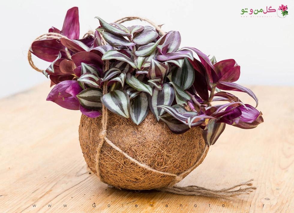 معرفی و آموزش نگهداری گل زبرینا-گل من و تو