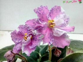 گلدهی بنفشه آفریقایی-گل من و تو