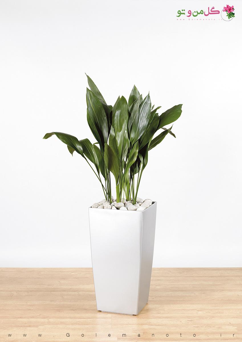 معرفی و نگهداری گل برگ عبایی- گل من و تو