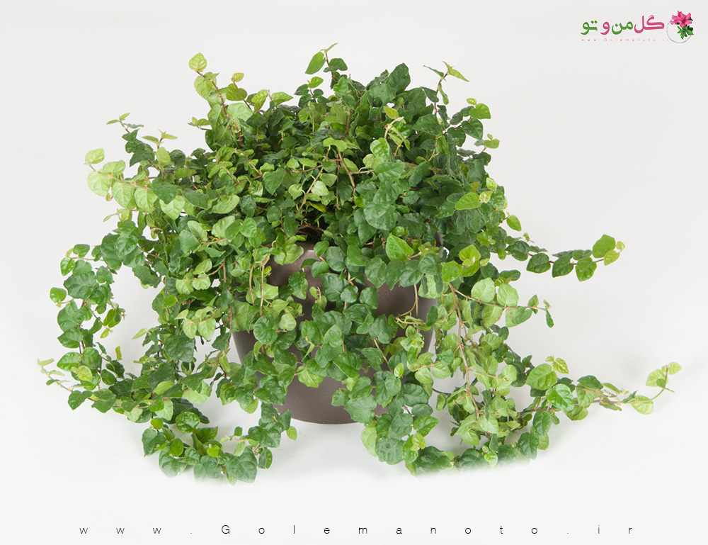 معرفی و نگهداری فیکوس خزنده - گل من و تو