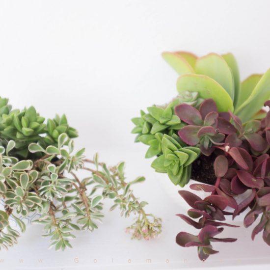 آموزش کاشت ساکولنت ها در یک گلدان- گل من و تو