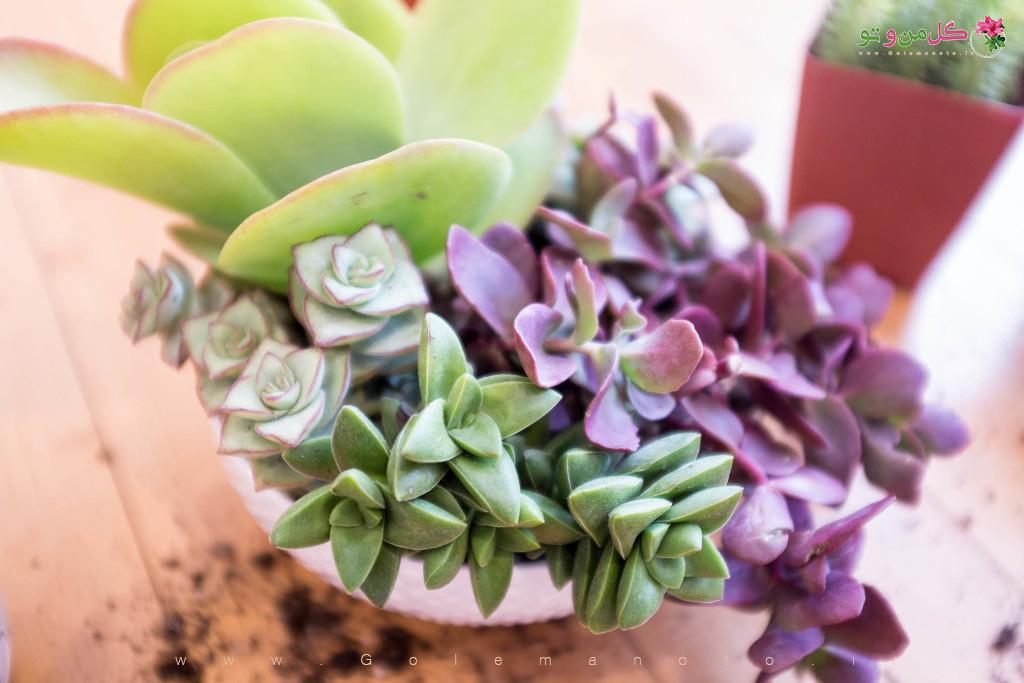 نتیجه کار کاشت ساکولنت در یک گلدان - گل من و تو