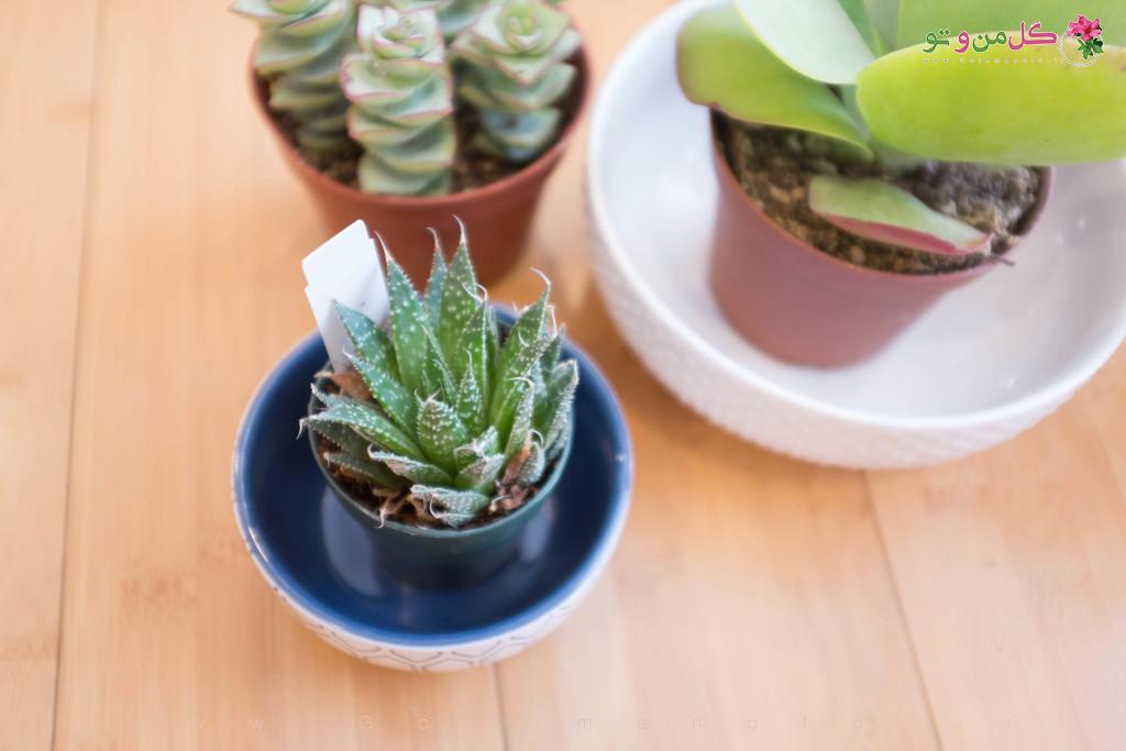 ساخت گلدان ساکولنتی - گل من و تو