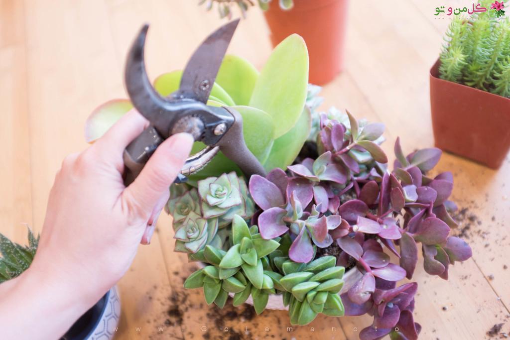 کاشت ساکولنت در یک گلدان - گل من و تو