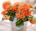 معرفی و نگهداری گل کالانکوئه - گل من و تو