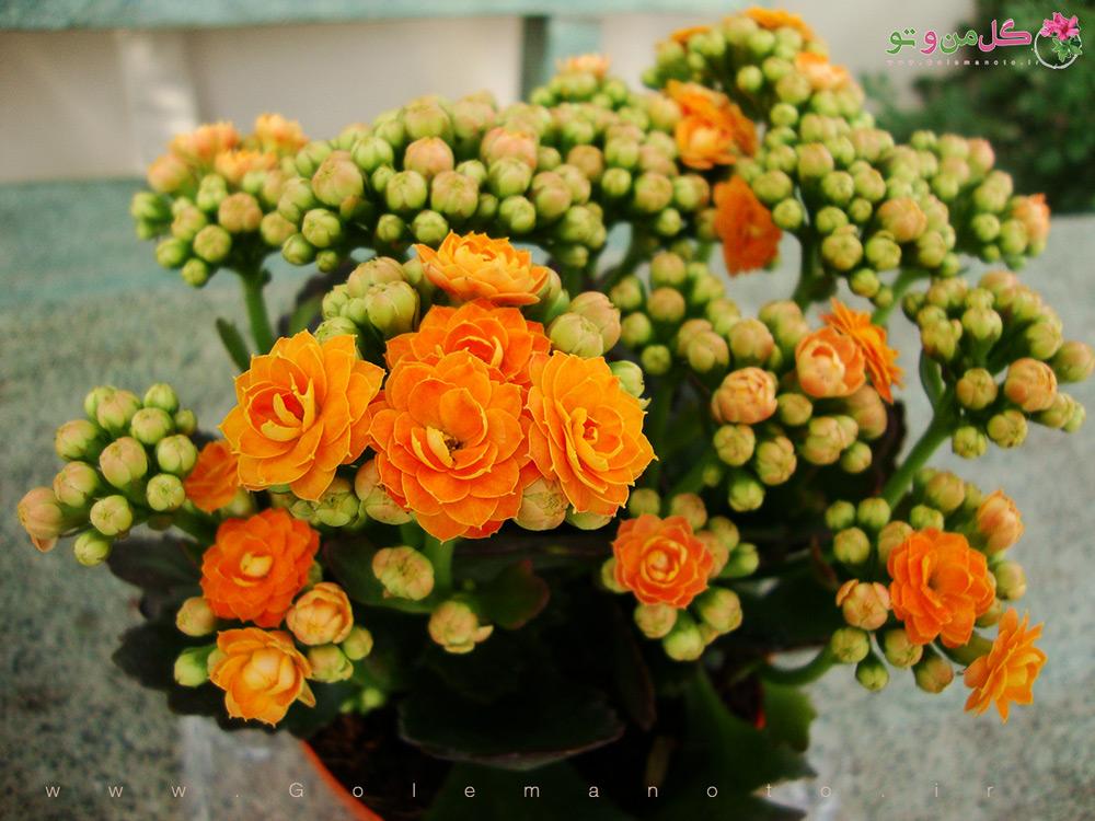 معرفی و نگهداری کالانکوئه - گل من و تو