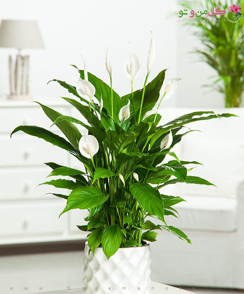 معرفی و نگهداری اسپاتی فیلوم- گل من و تو