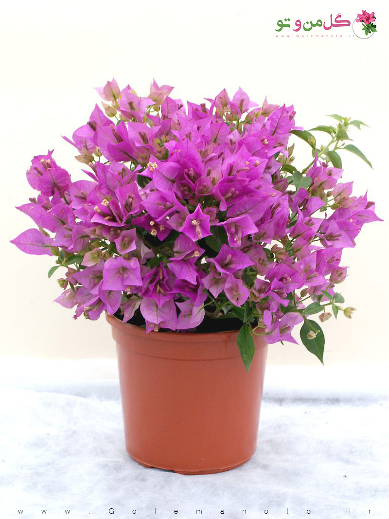 تکثیر و معرفی گل کاغذی - گل من و تو