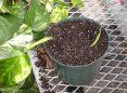 تکثیر گیاهان خانگی به روش خواباندن ساقه