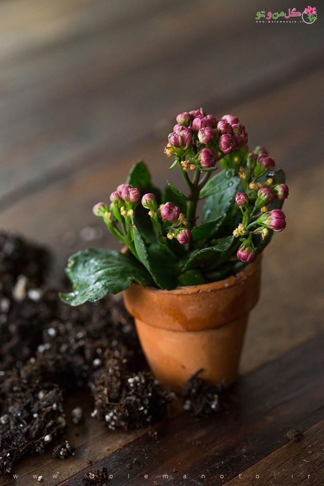 تکثیر و تعویض گلدان کالانکوآ - گل من و تو