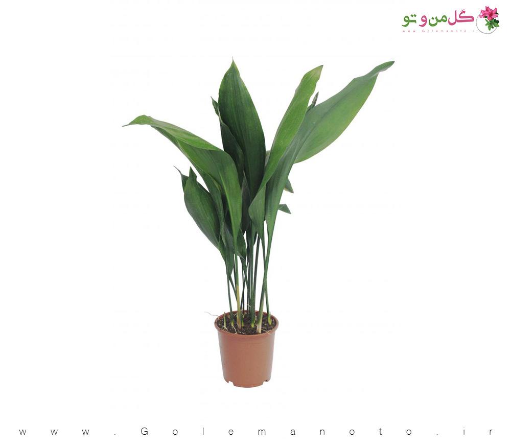معرفی و نگهداری برگ عبایی - گل من و تو