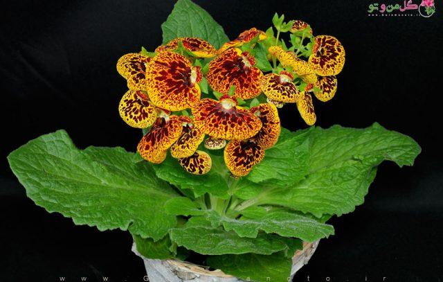 آموزش و نگهداری گل گوشواره ای - گل من و تو