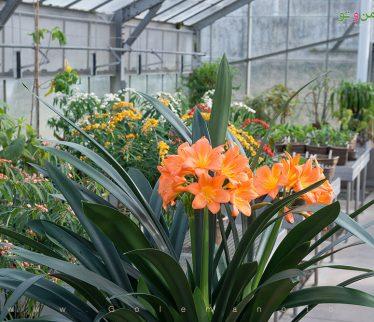 معرفی و نگهداری گل خورشیدی- گل من و تو